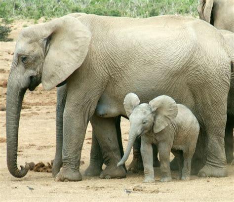 how many years does a live how do elephants live average lifespan of an elephant