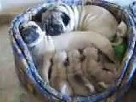 imagenes de animales con sus crias cachorros pug carlino con pap 225 y mam 225 youtube