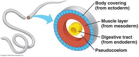 nematoda diagram phylum nematoda the roundworms thread like