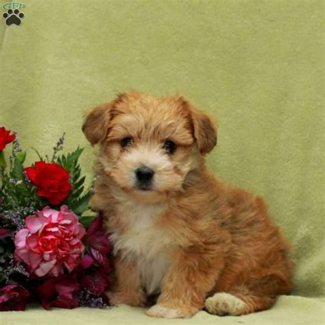 yorkie chon size joey yorkie chon puppy for sale in pennsylvania