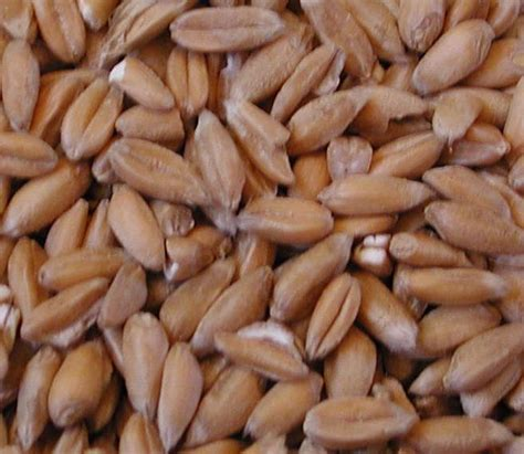 whole grains side effects the world most healthy foods whole grain spelt