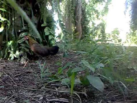 download mp3 doel sumbang dara denok suara ayam hutan betine free mp4 video download 1