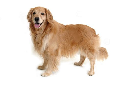 golden retriever food guide golden retriever