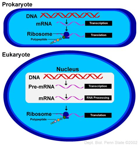 where in a eukaryotic cell does translation occur ap biology for dummies eukaryote transcription vs