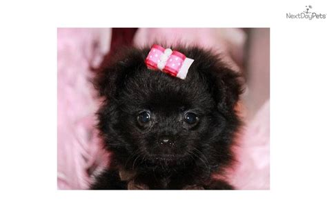 pomeranian puppies jackson ms pomeranian puppies for sale in mississippi breeds picture