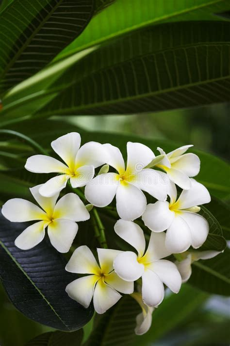 mazzo di fiori bianchi mazzo di fiori bianchi frangipani fotografia stock