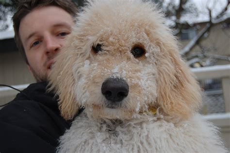 goldendoodle puppy for sale bc goldendoodle puppies 1000 for sale adoption from surrey