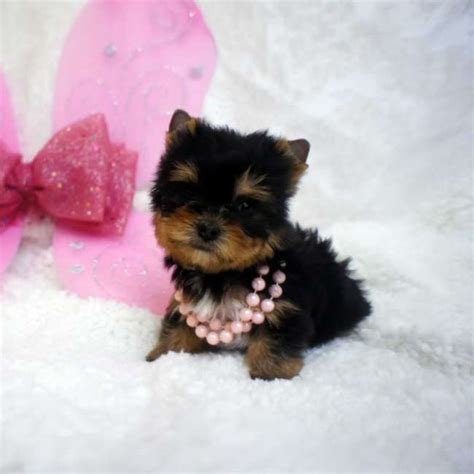 tiny yorkies tiny puppy for sale teacup yorkies sale