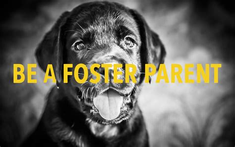 foster a puppy foster a florida all retriever rescue