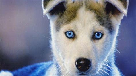 husky puppies nj husky puppies nj siberian husky puppies cheap alaskan