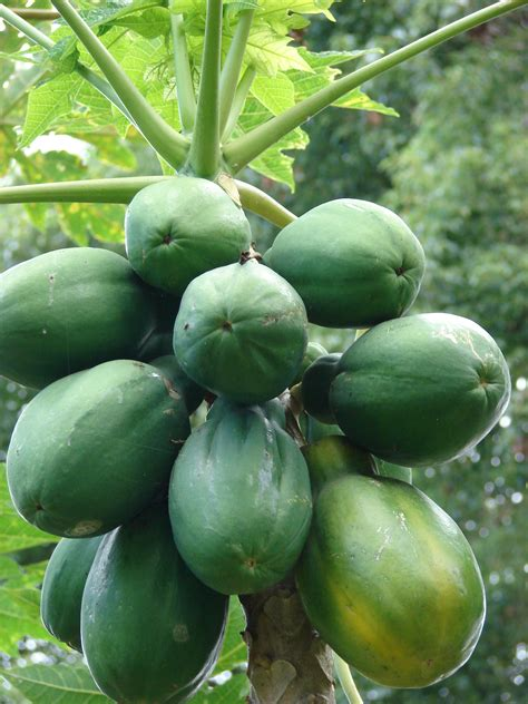 fruit tree seeds 15 papaya fruit fresh tree seeds sweet tropical