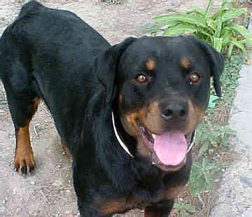 strong names rottweiler view topic 1x1 between white fang lover and lucybelle chicken smoothie