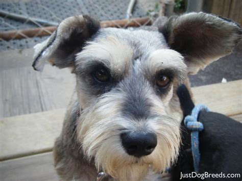 miniature schnauzer dog breed razor miniature schnauzer dog breeds