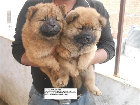 chow chow puppy price chow chow puppies for sale sachin 1 13412 dogs for sale price of puppies