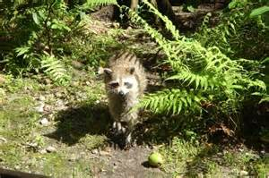 raccoon diet what do raccoons eat