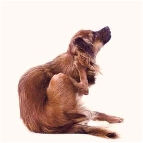 chewing lice on dogs how to get rid of chewing lice on pets petcarerx