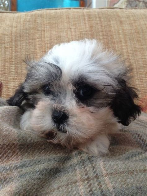 shih tzu and bichon frise puppies for sale shih tzu x bichon frise puppies for sale cranbrook kent pets4homes