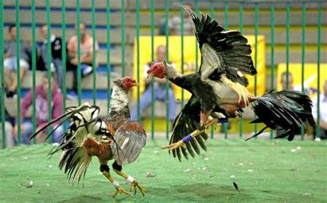 pelea de gallo pelea de gallo 2016 newhairstylesformen2014 com
