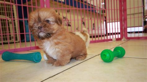 shih tzu puppies for sale in atlanta ga pretty shih tzu puppies for sale near atlanta ga at puppies for sale local