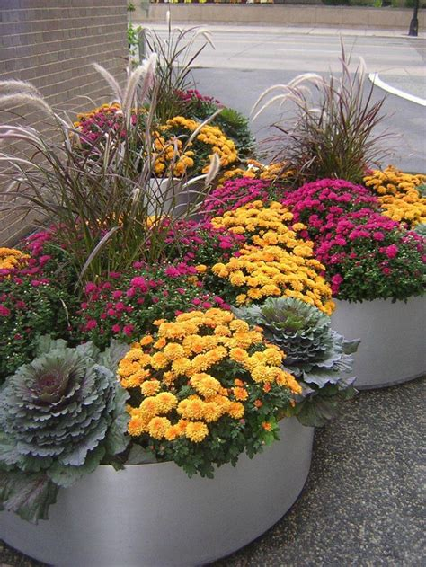love  autumn colors mums flowering cabbage