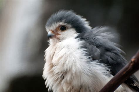 picture   day   pygmy falcon twistedsifter