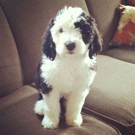 mini sheep doodle sheepadoodle puppy 8 weeks from country road