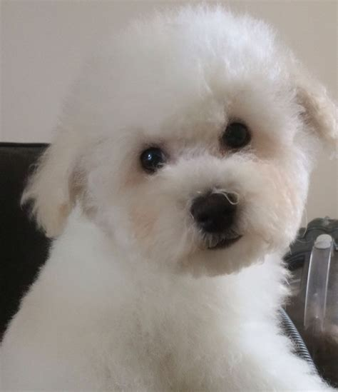 bichon frise puppies bichon frise dogs for adoption and rescue personal