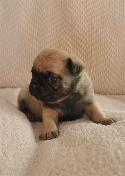 pug puppies for sale in norfolk and suffolk white white pug stud kc registered pug stud breeds picture