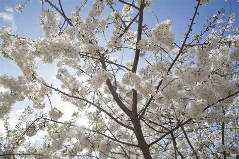 cherry trees b b shere macon is the cherry blossom capital of the world business insider