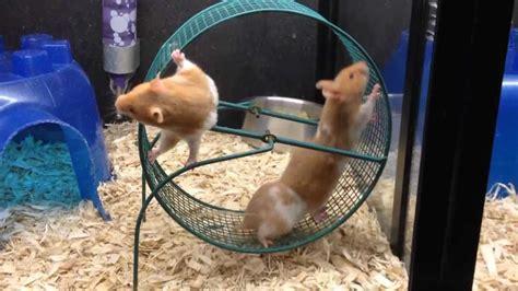 hamster wheel hamster wheel