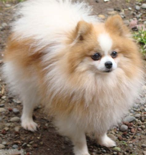 shirley pomeranian pin by on my for animals