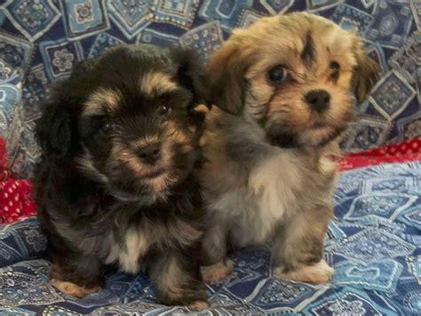 havanese puppies in pa gristmill havanese breeders stroudsburg pa