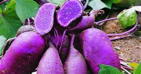 Bibit Ubi Jalar Ungu tanaman dan manfaatnya ubi jalar ungu cegah kanker