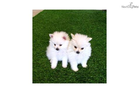 teacup pomeranians for sale in california meet snow white f doc m a pomeranian puppy for sale for 995 teacup