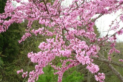 redbud trees in bloom my style pinterest