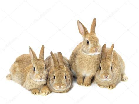 Golden Rabbit by Of Golden Rabbits Sitting On White Stock