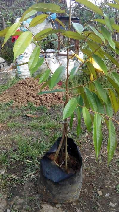 Bibit Durian Musang King Kaki Empat tanaman musang king kaki empat 70 cm jualbenihmurah