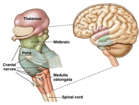 brain stem diagram brain stem stroke