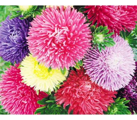 aster color aster callistephus chinensis size mix color seeds