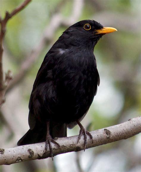 bird quizzes garden birds 01 most common