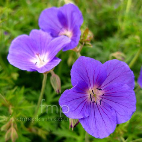 Net Name Search Florida A Large Image Of Geranium Fl From Plant Encyclopedia