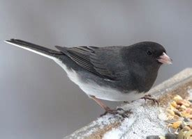 dark eyed junco identification all about birds cornell