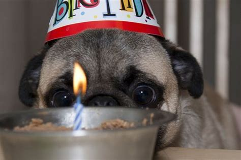pug birthday song 187 best images about pug on pug humor birthdays and birthday cards