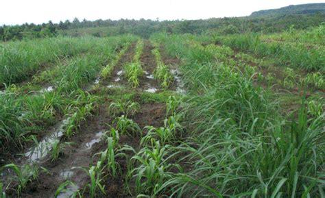 Bibit Rumput Gajah Pakan Ternak hijauan pakan ternak rumput gajah pnpm agribisnis