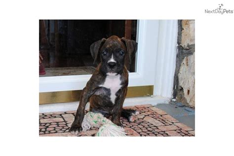 puppies for sale 50 dollars boxer puppies for 50 dollars myideasbedroom