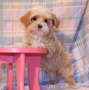 havanese breeder california san francisco havanese puppies havanese puppies havanese breeders