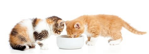 dog wont eat out of bowl dog wont eat out of bowl kitten wont eat hard food cats