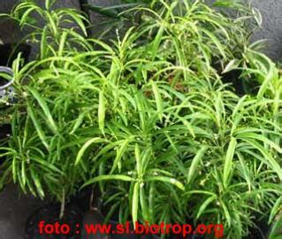 Pohon Anti Nyamuk Zodia Pot vian tanaman herbal anti nyamuk