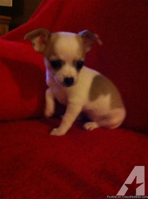 chihuahua puppies for sale mn adorable purebred chihuahua puppies for sale in paul minnesota classified