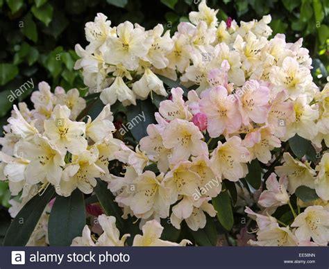 Rhododendron Giftig by Giftig Stockfotos Giftig Bilder Alamy